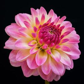 Favorite dahlia by Jim Downey - Flowers Single Flower ( red, pink, dahlia, yellow, black )