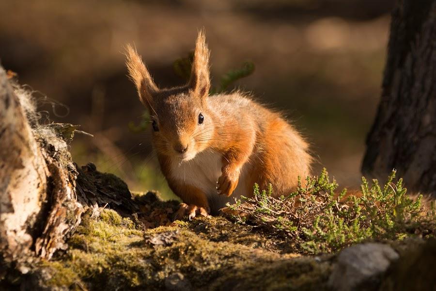 by David Wilson - Animals Other Mammals ( red, tree stump, woodland, mammal, squirrel, animal )