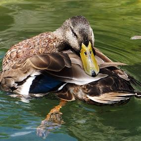 Just Ducky! by Alycia Marshall-Steen - Animals Birds (  )