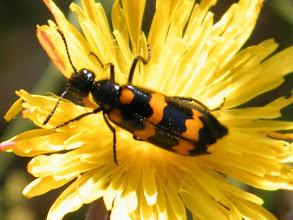 Photo: TRICHODES APIARUS - le clairon des abeilles -