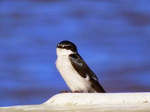 Photo: mangrove swallow