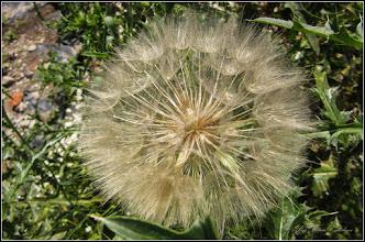Photo: Barba caprei (Tragopogon dubius....) - din Turda, Str. Andrei Muresanu, parcare zona Penny - 2019.06.10
