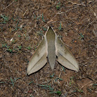 Theretra clotho Moth