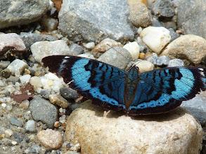 Photo: BLUE-BORDERED PANACEA (PROCILLA BEAUTY)--EL CAPRICHO TRACK