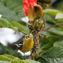 Reinita gorginaranja - Blackburnian Warbler