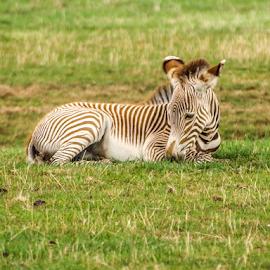 Zebra by Garry Chisholm - Animals Other Mammals ( zebra, foal, nature, mammal, garry chisholm )
