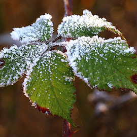 Frosty Blackberry leaves by Chrissie Barrow - Nature Up Close Leaves & Grasses ( blackberry, nature, green, white, frost, leaves, bokeh, closeup )