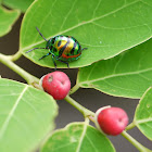 Jewel Bug (nymph)