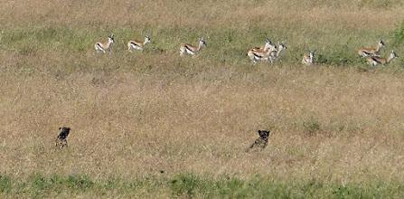 Photo: Cheetahs watching some Tommies pass