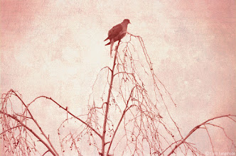 Photo: II. Meridian  at the highest point on the white birch a creature feathered in grey did what birds tend to do and perched.  its position, poised at the edge of pink light, seemed to indicate longing for some kind of escape:  a solitude that comes from contemplating flight just before things that fall apart begin to break.   —Photo and poem by Lynn Langmade © 2013 All Rights Reserved