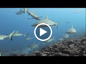 Video: This is the first time I've shown this video. Gray reef sharks at the south pass of Fakarava, French Polynesia. It captures the moment.