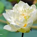 White Lotus / வெண்தாமரை