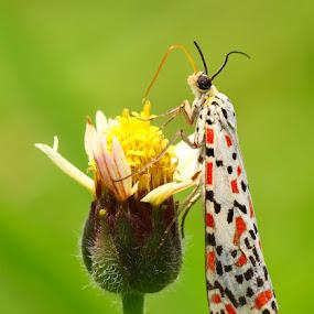 TIGA WARNA by B Iwan Wijanarko - Animals Insects & Spiders
