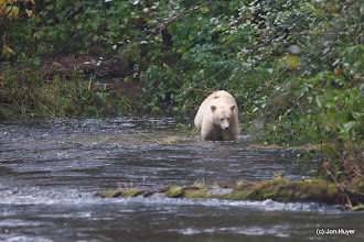 Photo: But after only a couple of hours, a Spirit Bear appeared!  It was incredibly exciting.  These bears are not albino, but have white fur due to a recessive gene in the area.  The eyes and nose are still black.