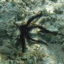 Black Brittle Star