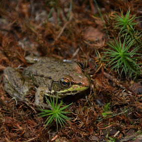 Mr. Frog by Glenda Popielarski - Animals Amphibians ( moss, forest, green, frog, nature, woods, amphibian )