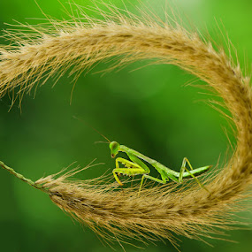 Just Like Ring of Fire by Irfan Marindra - Animals Insects & Spiders ( macro, mantis, grasshopper )