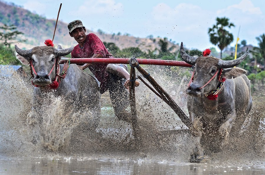 Buffalo Race (Sumbawa Culture) by Saiful Muslimin - News & Events World Events ( sport, travel, culture, animal )