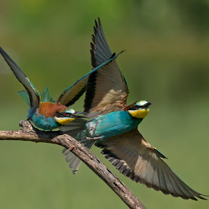 D:\01 GALERIJA FOTO\01 ptice\Čebelar - Rumenogrli čebelar - Merops apiaster\pixoto 2015\Merops-apiaster-176.jpg