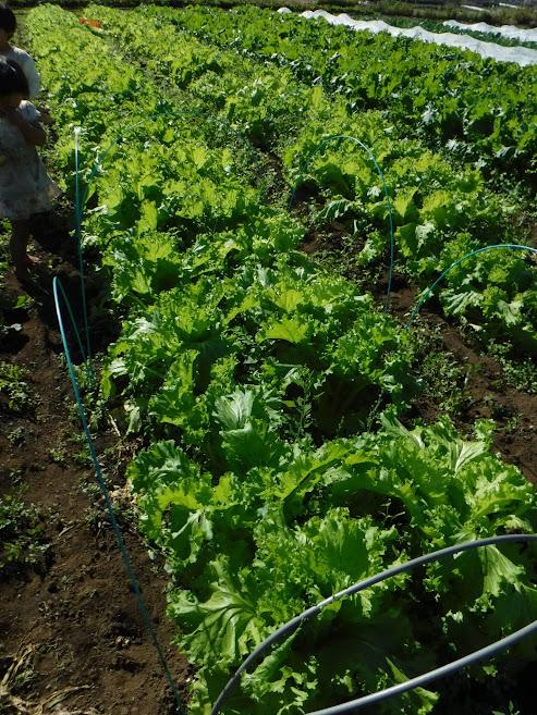 山東菜がよく育っています。手前が種採り予定で、青いダンポールで囲いました。