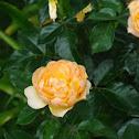Rosa cor-de-abóbora