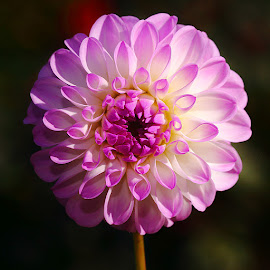 Dalhia n00071 by Gérard CHATENET - Flowers Single Flower