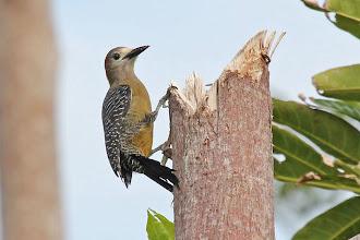 Photo: Jamaican Woodpecker