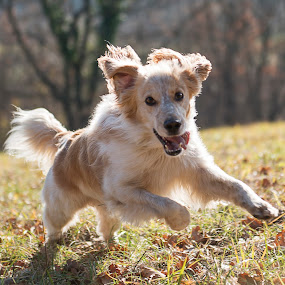 Hiro by Dubravka Krickic - Animals - Dogs Running ( playing, long hair, croatia, dog, running )