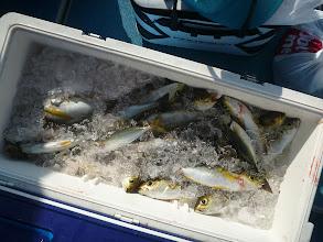 Photo: アオキさんの釣果! コツをつかんでからは、よく喰ってましたね!