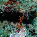 Goniobranchus sinensis