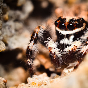 Pseudicius by Romy Yuliawan - Animals Insects & Spiders ( macro, jumping, spider )