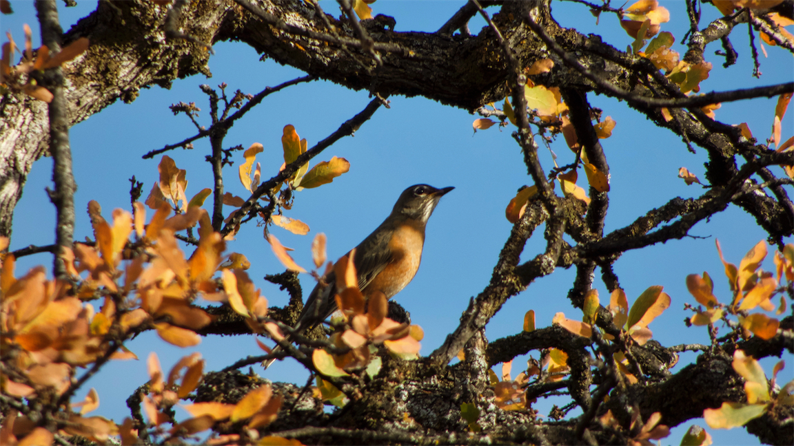 Oak Tree Robin.jpg