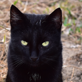 veri nice black ket by LADOCKi Elvira - Animals - Cats Kittens ( nature, black, animal, garden, ket )