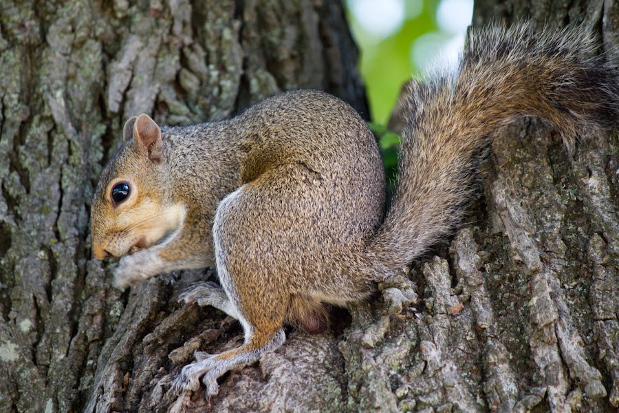 Nomming Away by Maximillian Curry - Animals Other Mammals ( tree, park, eating, nut, noble, paducah, squirrel, kentucky )