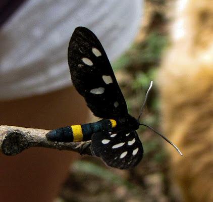 amata phegea o farfalla prete di elisabetta_de_carli