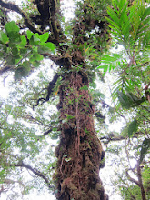 Photo: A large tree can literally have a ton of hangers-on (epiphytes, not parasites)