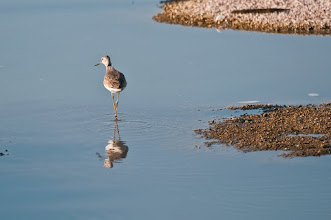 Photo: Greater yellowlegs