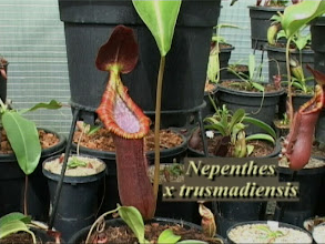 Photo: Nepenthes x trusmadiensis. Video image: S. Hartmeyer.