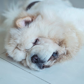 Sleeping fluffiest chow chow by Waraphorn Aphai - Animals - Dogs Portraits ( small, treat, husky, pile, friendly, chow chow, happy, chow chow..aka'c, enjoying, domestic, beautiful, lick, doggy, pet, cookie, natural, siberian, delicious, feed, closeup, animal, tasty, dog, adorable, care, waiting, tongue, snack, training, bowl, cute, hungry, happiness, feeding, eat, funny, owner, reward, health, canine, portrait, food, breed, meal, pedigree, healthy, biscuit, sweet, fun )