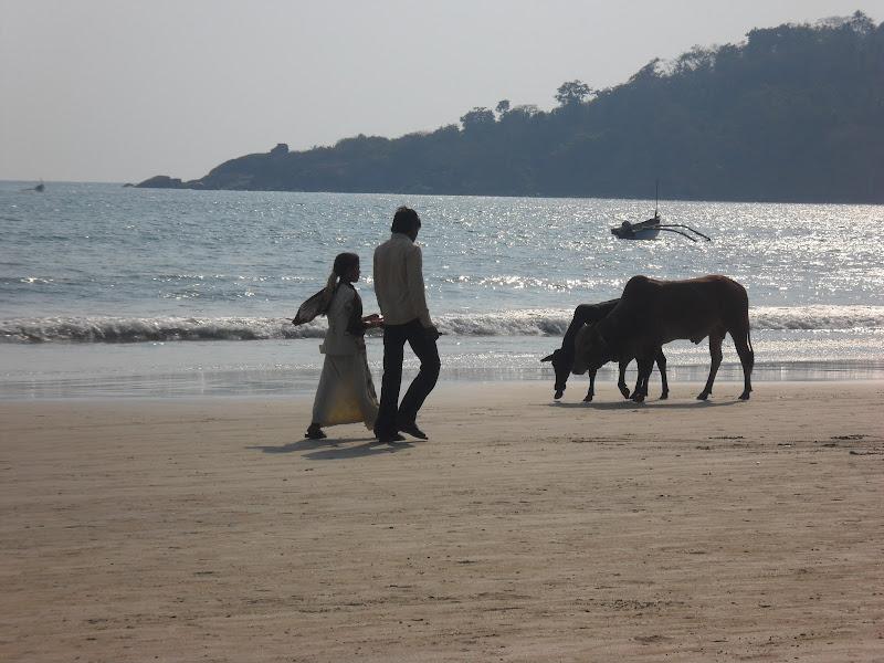 Bovini in spiaggia di Marinazu