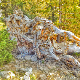 Roots by Shane Lusk - Landscapes Forests ( utah, national forest, forest, woods, bear lake, roots )