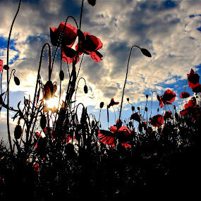 Sunset Poppies  by Ian Cormack - Nature Up Close Flowers - 2011-2013 ( poppies )