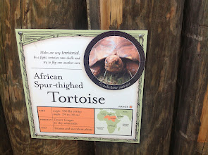 Photo: info about an African Spur-thighed Tortoise
