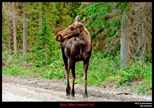 Photo: Spray Valley Provincial Park: alce hembra joven.