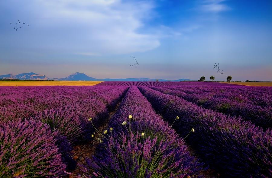 Flocks over Valensole by Stefano Landenna - Landscapes Prairies, Meadows & Fields ( cool, sky, purple, sunset, france, beauty, lavender, flock, birds, valensole, fields )