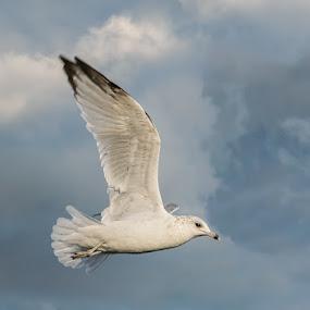 Ethereal by Gerda Grice - Animals Birds ( bird, gull, white clouds, blue-grey sky, ring billed gull )