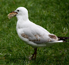 Photo: Year 2 Day 229 -  Seagull with His Beak Full