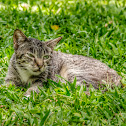 Domestic Cat / Gato-Doméstico