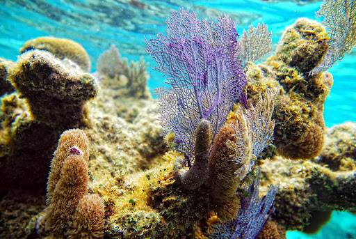 Colorful coral in the barrier reef at Roatan, Honduras.