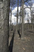 Photo: Hayman FireNorth.  Stand Replacing burn just next to Lost Creek Wilderness area